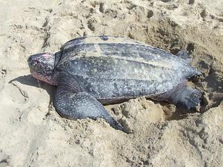 Leatherback sea turtle on the beach /Tinglar
