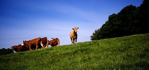 alabama huntsville jonesvalley farm cows grass field sky trees blue green brown hot napg