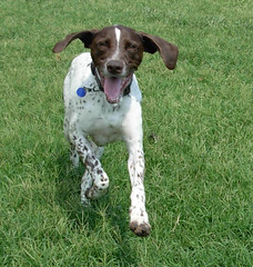american foxhound(0.0), drentse patrijshond(0.0), brittany(0.0), pachon navarro(0.0), german wirehaired pointer(0.0), french spaniel(0.0), dog breed(1.0), animal(1.0), harrier(1.0), dog(1.0), pet(1.0), old danish pointer(1.0), mammal(1.0), small mã¼nsterlã¤nder(1.0), braque francais(1.0), pointer(1.0), braque d'auvergne(1.0), german shorthaired pointer(1.0), hunting dog(1.0),