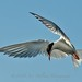 Tern Hovering by Gitart