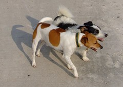 brazilian terrier(0.0), american foxhound(0.0), street dog(0.0), wire hair fox terrier(0.0), toy fox terrier(0.0), fox terrier(0.0), dog breed(1.0), animal(1.0), danish swedish farmdog(1.0), dog(1.0), ratonero bodeguero andaluz(1.0), pet(1.0), mammal(1.0), smooth fox terrier(1.0), miniature fox terrier(1.0), parson russell terrier(1.0), russell terrier(1.0), jack russell terrier(1.0), terrier(1.0),