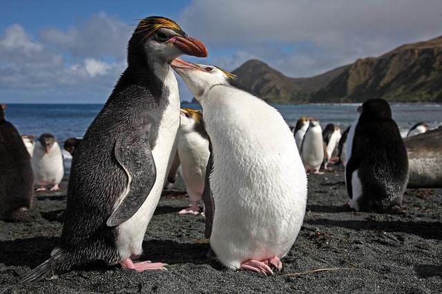 Royal Penguins Allopreening, Macquarie Island