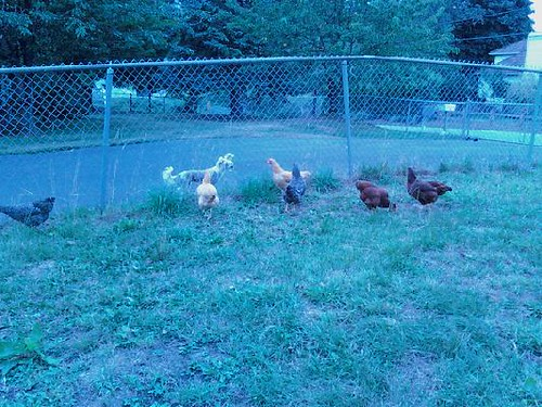 Flock of chickens vs Chinese Crested