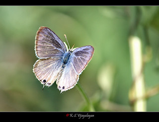 Pea Blue Butterfly
