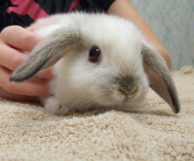 Baby lop eared rabbit - photo#2