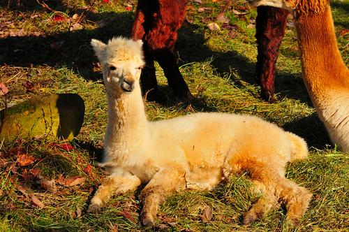 canada alpaca geotagged newbrunswick moncton vob magnetichillzoo grouptags allrightsreserved©drgnmastrpjg rawjpg geo:lat=46136724 geo:lon=64887984 ©pjgergelyallrightsreserved