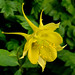 Golden Columbine - Photo (c) James Gaither, some rights reserved (CC BY-NC-ND)