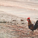 Red Jungle fowl - wild chicken