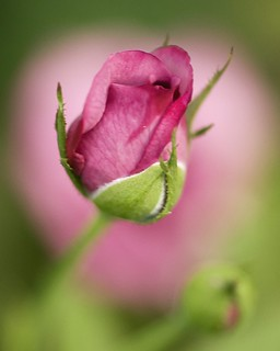 Pink Rosebud on Rose Bokeh