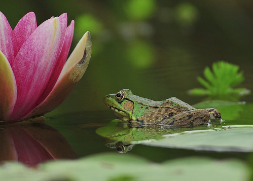 Pictures Of Frogs On Lily Pads Tattoo Hot