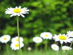 grass(0.0), garden cosmos(0.0), lawn(0.0), asterales(1.0), annual plant(1.0), flower(1.0), field(1.0), yellow(1.0), plant(1.0), marguerite daisy(1.0), chamaemelum nobile(1.0), tanacetum parthenium(1.0), daisy(1.0), wildflower(1.0), flora(1.0), oxeye daisy(1.0), meadow(1.0), daisy(1.0), petal(1.0),