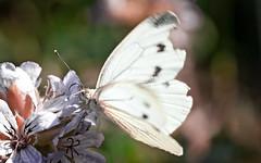 Butterfly Wallpaper 'Motion Blur'