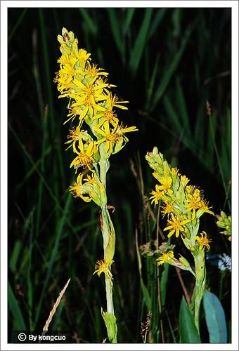内蒙古植物照片-菊科橐吾属狭苞橐吾