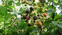 shrub(0.0), flower(0.0), produce(0.0), food(0.0), blackberry(1.0), evergreen(1.0), berry(1.0), red mulberry(1.0), plant(1.0), wine raspberry(1.0), flora(1.0), fruit(1.0), mulberry(1.0),