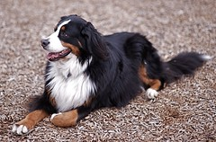 puppy(0.0), dog breed(1.0), animal(1.0), dog(1.0), pet(1.0), miniature australian shepherd(1.0), bernese mountain dog(1.0), carnivoran(1.0),