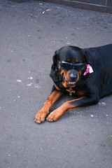 animal, dog, pet, mammal, rottweiler,