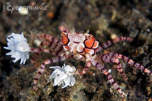 boxer crab pom-pom again