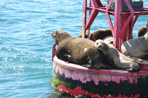 Sea Lions near Ventura Harbor (4)
