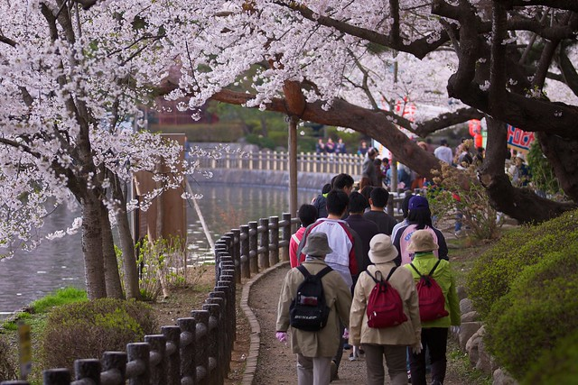 Walking down the Sakura Pathway