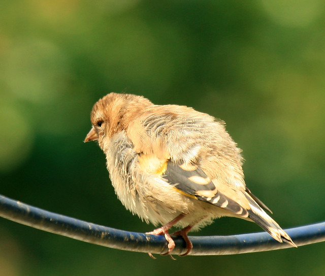 baby goldfinch | Flickr - Photo Sharing!