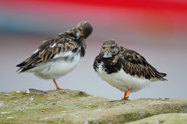 Two Turnstones (Arenaria interpres), Winter Plumage on Whitby Harbour Wall