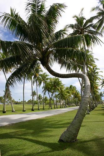 tree coconut palm kwajalein tropics cocos pacificisland micronesia marshallislands oceania nui roinamur arecaceae republicofthemarshallislands cocosnucifera