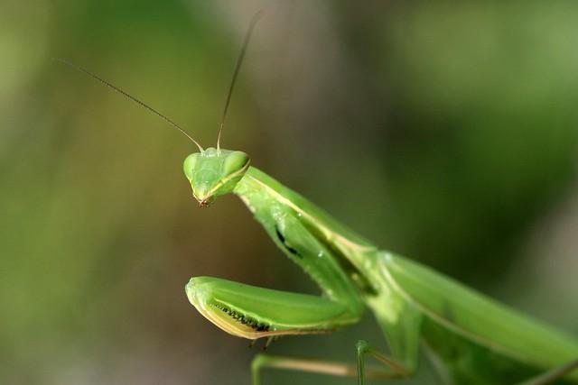 praying-mantis-close