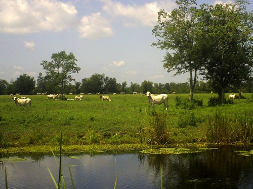 ALBINO CATTLE