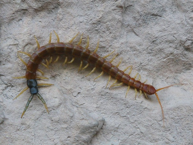 Picture A Day November 14, 2009 - Oh Centipede, You Can't Run Away...