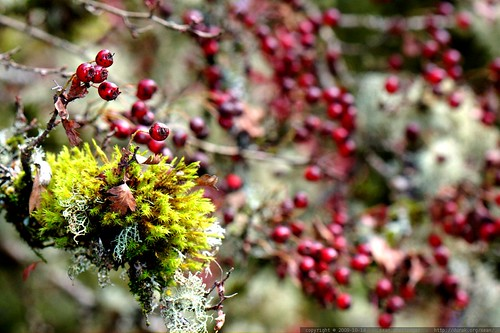 moss, lichen, and berries on a hawthorn tree    MG 6648