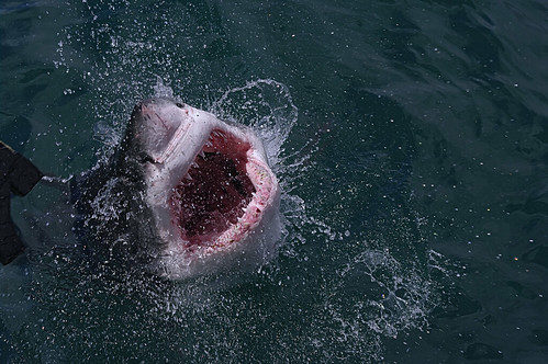 Great white shark- carcharodon carcharius