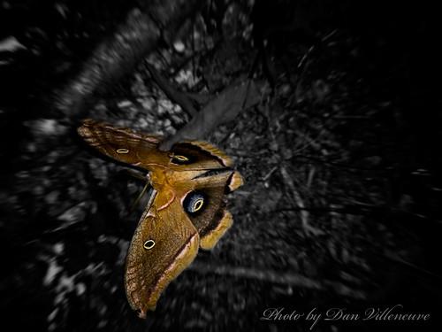 brown night moth casio exilim antheraeapolyphemus exs600