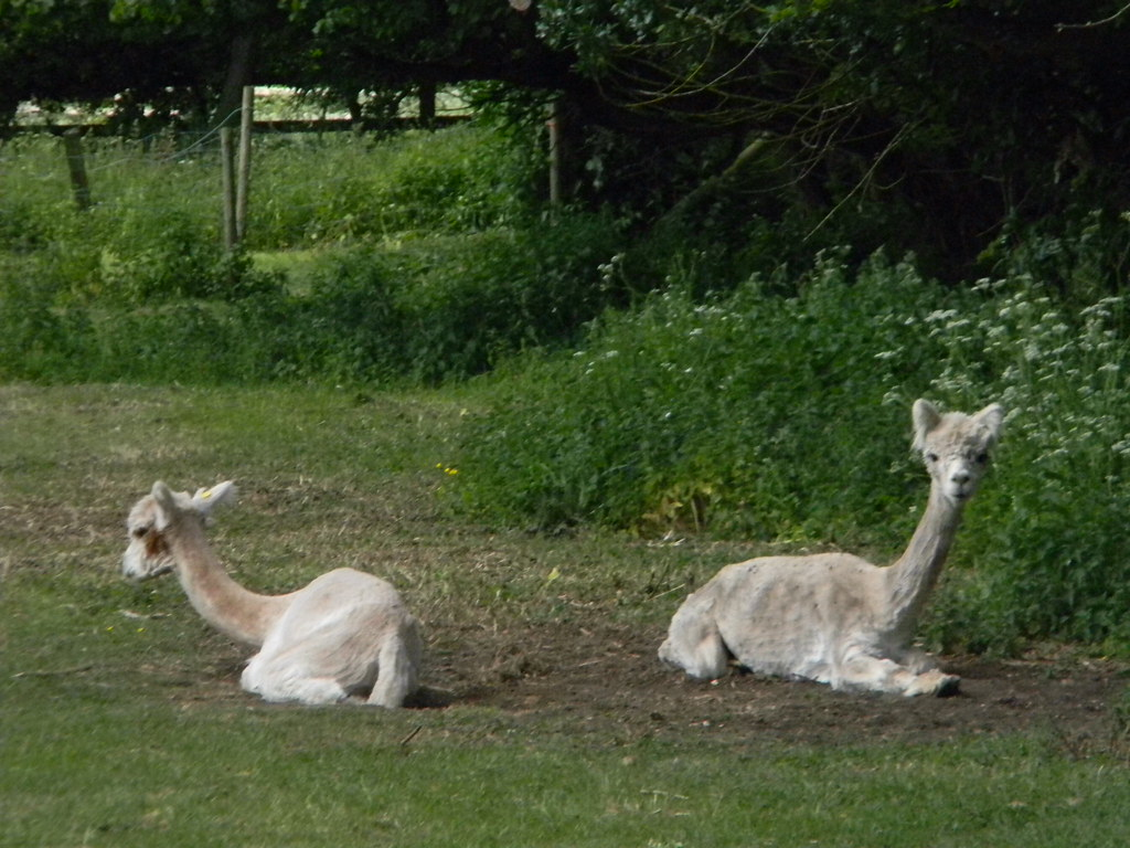 Alpaca Little Kimble to Saunderton