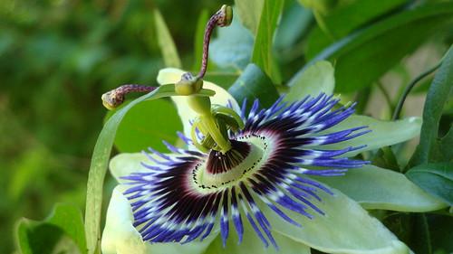 Passiflora. Fotografía de Muufi