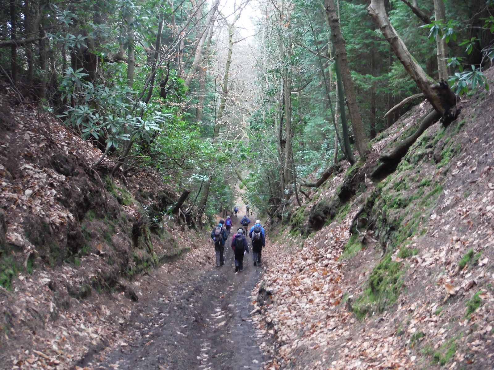 Deep Sunken Lane, north of Sheephatch Farm SWC Walk 144 Haslemere to Farnham