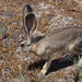 Black-tailed Jackrabbit - Photo (c) Mike Baird, some rights reserved (CC BY)
