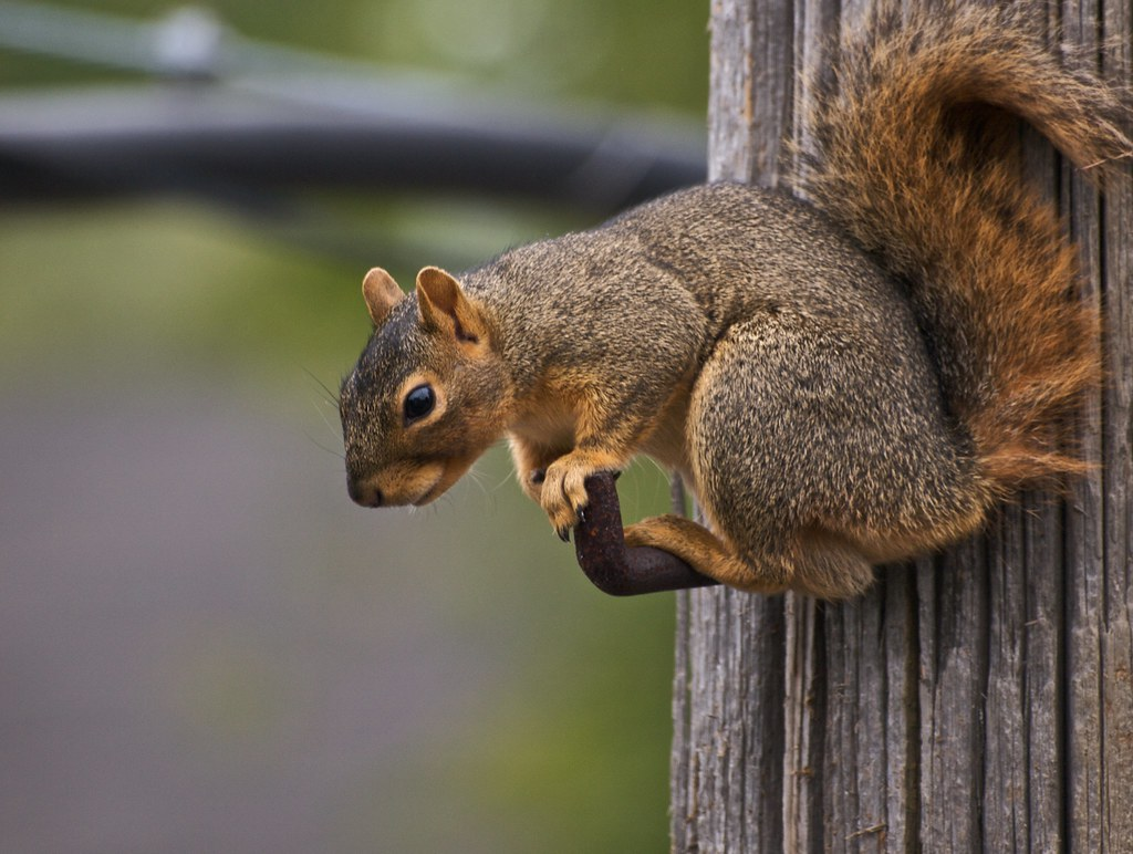 Daily Jigsaw Puzzles and Other Fun Games - squirrel-rehab. org Pictures of a fox squirrel