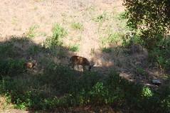 Mother deer keeping watch