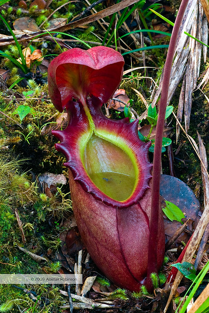 Nepenthes Rajah Flickr Photo Sharing