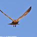 Greater Kestrel flying IMG_2601