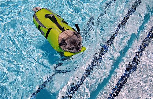 Swimmer pug