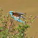092 Bee-eaters