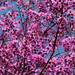 Physocalymma scaberrimum - Roxinho - Pau de Rosas
