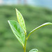 Small photo of Premium Tea, Darjeeling