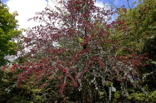 berries and lichen on a hawthorn tree    MG 6645