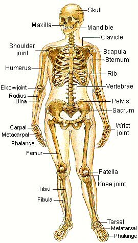Skeletal System Of Human Body Is Human Resources A Good Career