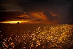 Campos de oro