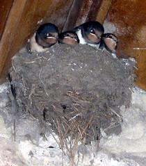 nest, animal, swallow,
