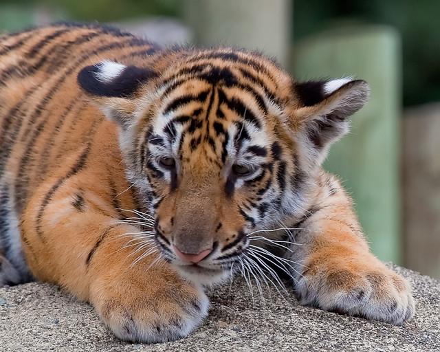 Bengal Tiger Cub | Flickr - Photo Sharing!