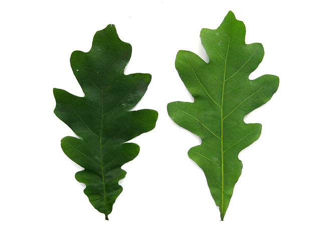 White Oak Leaf Identification ~ Quercus alba white oak leaves flickr photo sharing